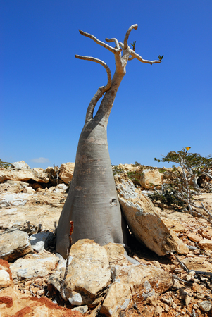 endemic: Unusual plant the bottle tree is endemic tree adenium obesum of Socotra Island