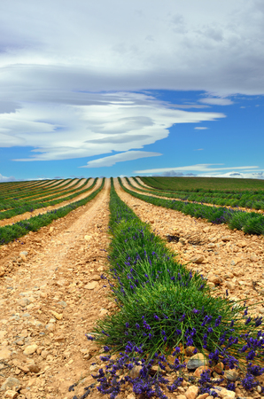skyscape: The skyscape during Mistral blows above a mowed  fields of lavender. Is a strong, cold and northwesterly wind that blows from southern France into the Gulf of Lion in the northern Mediterranean