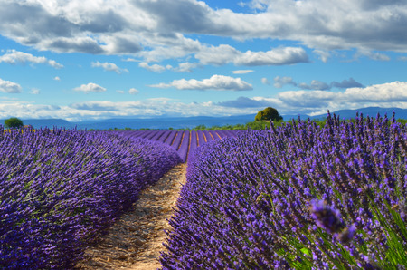 lavandula angustifolia: Stunning landscape with lavender field at evening. Plateau of Valensole, Provence, France