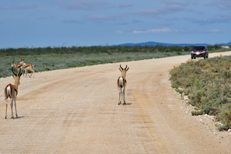 marsupialis: Springbok antelopes standing on a dirt road against a car in Etosha national park in Namibia; Antidorcas Marsupialis Stock Photo
