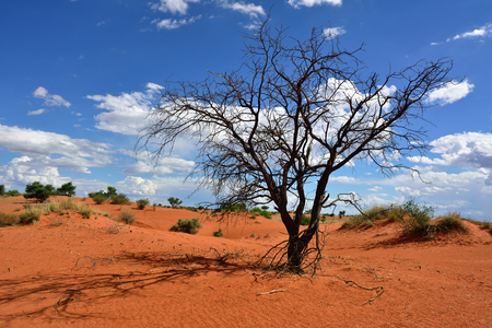 kalahari: Lovely landscape in Kalahari with dead tree and bright colours at sunset time Stock Photo