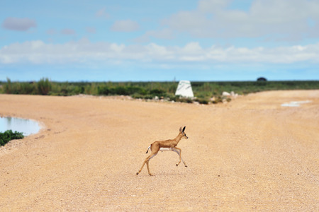 springbok: Baby springbok antelope crossing a dirt road in Etosha national park in Namibia at sunrise time; Antidorcas Marsupialis