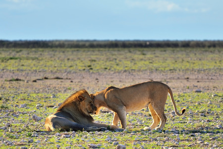 Wild love. Lion male and lioness caress each other before mating in sunset backlight in the african savannah, Etosha, Namibia