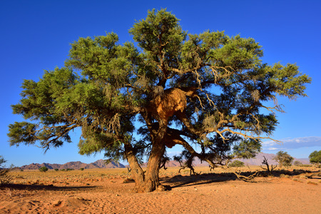 safari game drive: Beautiful namibian landscape with a big tree with nest Vachellia erioloba at sunset. Plants of the genus Alhagi are also sometimes called camelthorns or camel thorns or giraffe thorn
