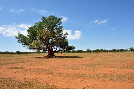 Typische afrikanische Landschaft. Big einsamen Akazie und Termitenhügel um im Feld