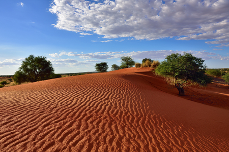 kalahari: Beautiful landscape in Kalahari with big red dune and bright colours at sunset time
