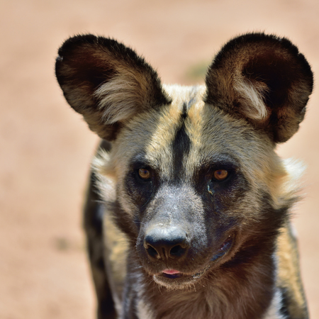 The African Wild Dog portrait in Namibia Stock fotó