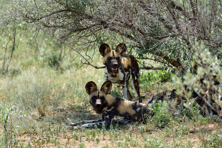 Two African Wild Dog in bush, Namibia
