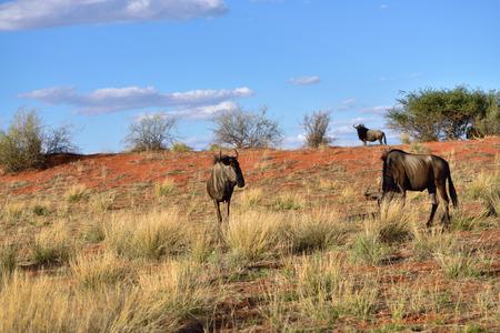 taurinus: Blue wildebeest, Connochaetes taurinus, in the bush, big animal in the nature habitat, Namibia, Kalahari desert, Africa Stock Photo
