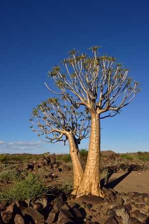 quiver: Magical Quiver Tree Forest outside of Keetmanshoop, Namibia at sunset.