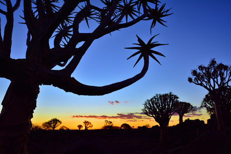 dichotoma: Quiver Tree Forest outside of Keetmanshoop, Namibia at night start. Magical silhouette against mystical sunset Stock Photo