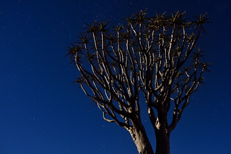 crone: Mystical Quiver Tree Forest outside of Keetmanshoop, Namibia. Big tree crone under moon light against stars night sky. Stock Photo