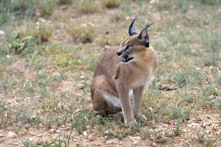 safari game drive: Wild female caracal in Namibian savannah