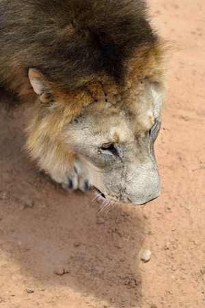 sneaks: Male lion sneaks in African savanna, Namibia. View from above
