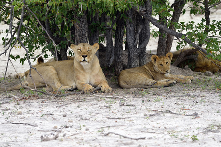ander: Lions pride resting ander tree. Lioness and her cub, lion male background. Etosha national park Namibia Stock Photo