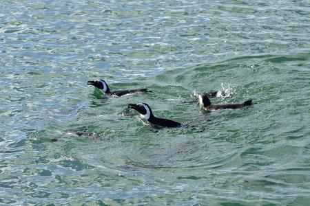 luderitz: Jackass penguins in water, Penguin Islands,  Luderitz bay, Atlantic ocean, Namibia, Africa Stock Photo