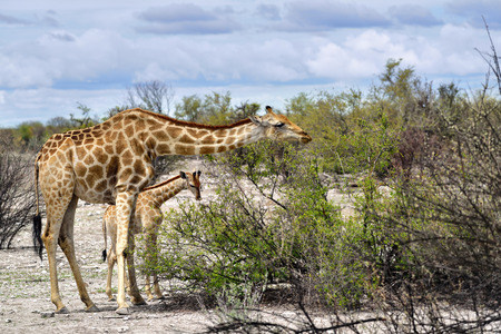 safari game drive: Giraffe with foal eating a bushes in Etosha national reserve, Namibia Stock Photo