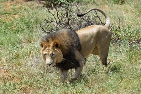 savanna: Male lion hunting in African savanna, Namibia