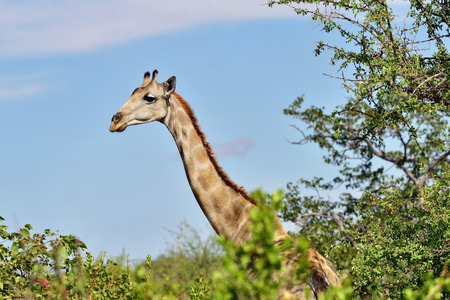 evening out: Giraffe looking out of the bushes in Etosha national reserve, Namibia. Warm evening light Stock Photo