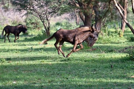 safari game drive: The black wildebeest or white-tailed gnu Connochaetes gnou running in the green forest. Namibia, Africa