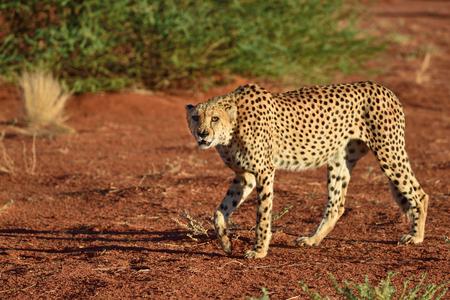 kalahari desert: Wild Cheetah In the Kalahari desert at sunset. African Savannah, Namibia. Warm evening light Stock Photo