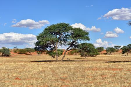 kalahari desert: Beautiful landscape with big acacia tree and antelope sprigbok in the Kalahari desert at evening light, Namibia, Africa Stock Photo