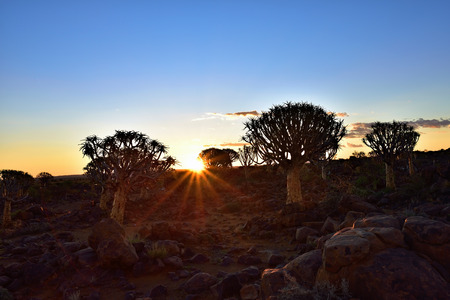 dichotoma: Quiver Tree Forest outside of Keetmanshoop, Namibia. Magical silhouette against mystical sunset