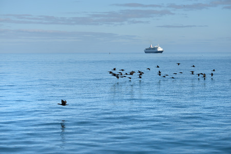 luderitz: Flock of the cape commorants or cape shag phalacrocorax capensis in Luderitz bay and luxury cruise ship on background at sunrise