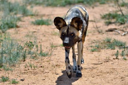 african wild dog: African Wild Dog running in savanna, Namibia, Africa