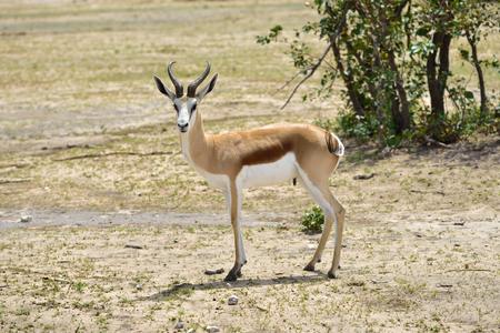 antidorcas: Female springbok antelope in the african savannah, Namibia