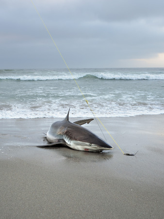 sportfishing: The big copper shark on the beach. A tag and release shark fishing is popular in Namibia