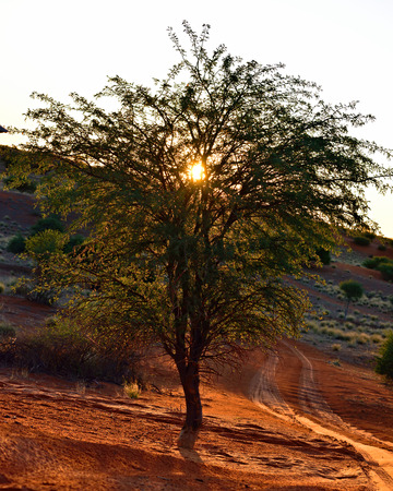 kalahari: African night silhouette. Acacia tree in the Kalahari desert against a bright red sunset sky Stock Photo