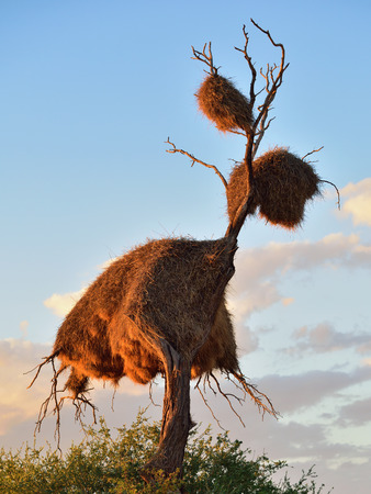 safari game drive: Big nest on the dead treein the Kalahari desert at sunset. Plants of the genus Alhagi are also sometimes called camelthorns or camel thorns or giraffe thorn