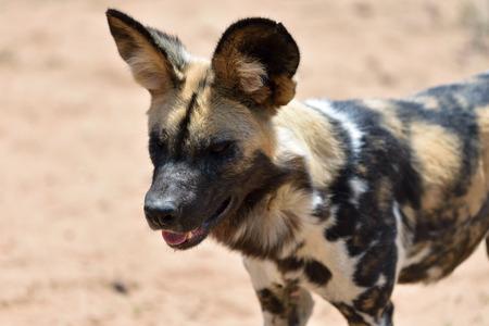 safari game drive: The African Wild Dog portrait in Namibia Stock Photo