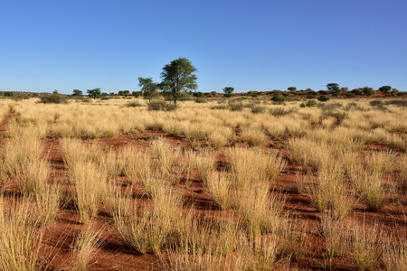kalahari: Beautiful landscape in Kalahari with red sand and grass bright colours at sunset time