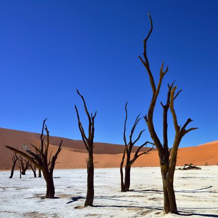 vlei: Dead Camelthorn Trees against red dunes and blue sky in Deadvlei, Sossusvlei. Namib-Naukluft National Park, Namibia, Africa.