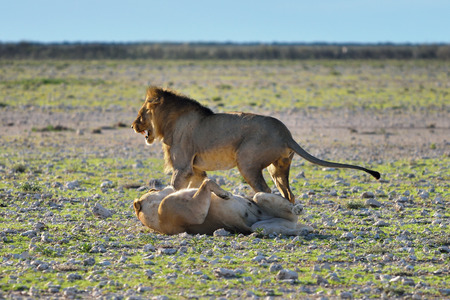 africa kiss: Lion male and lioness play before mating in sunset backlight in the african savannah, Etosha, Namibia