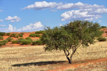 kalahari desert: Beautiful landscape with acacia tree in the Kalahari desert at evening light, Namibia, Africa