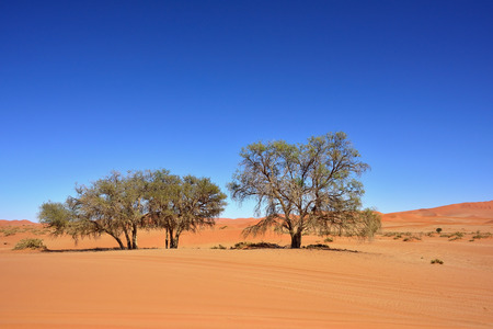 namib: Beautiful landscape with acacia trees and big red dunes at sunrise, Sossusvlei, Namib Naukluft National Park, Namib desert, Namibia