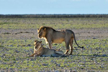 africa kiss: Lion male and lioness in sunset backlight in the african savannah, Etosha, Namibia Stock Photo