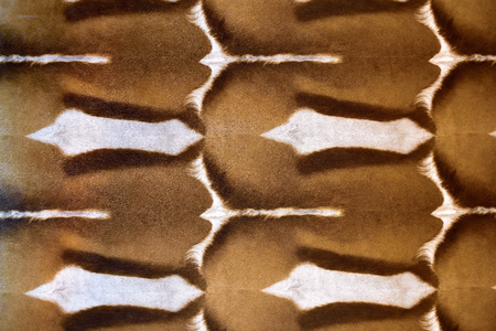 springbok: abstract patterns in a closeup view of springbok animal skin
