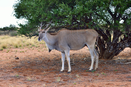 bovidae: Great kudu female under bush in the Kalahari desert. Specie Kobus ellipsiprymnus family of bovidae Stock Photo