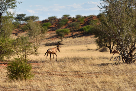 kalahari: Red Hartebeest Antelope in the Kalahari desert at sunset, Namibia, Africa