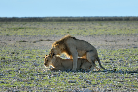 dangerous love: Lion male and lioness are mating in sunset backlight in the african savannah, Etosha, Namibia