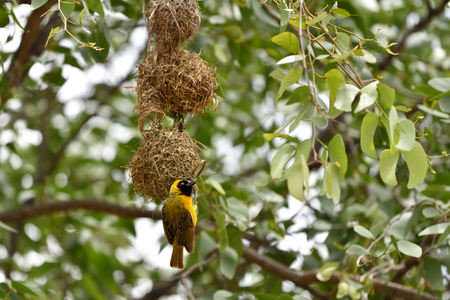 weaver bird nest: Southern Yellow Masked Weaver bird building a nest, Namibia, Africa