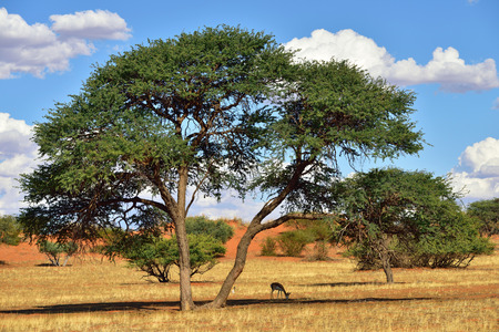 kalahari: Beautiful landscape with big acacia tree and antelopes sprigbok in the Kalahari desert at evening light, Namibia, Africa