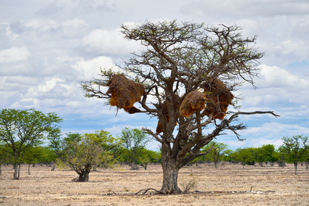 safari game drive: Big nest on the achellia erioloba in the Etosha national park. Plants of the genus Alhagi are also sometimes called camelthorns or camel thorns or giraffe thorn Stock Photo