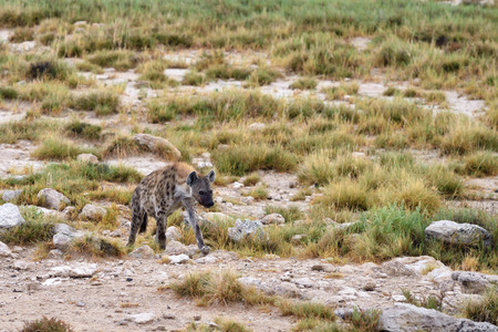 hyena: Spotted hyena in the Etosha national park, Namibia, Africa Stock Photo