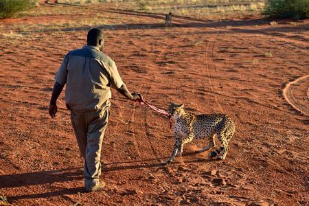 KALAHARI, NAMIBIA - JAN 23, 2016: Bagatelle Kalahari Game Ranch, Wild Cheetah feeding at sunset. African Savannah, Namibia. Warm evening light
