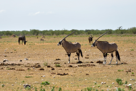 herbivore natural: A Gemsboks (Oryx gazella) in Etosha national park, Namibia, Africa Stock Photo